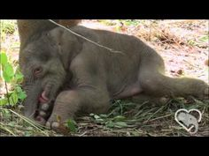 Just like a human baby, this little baby seems like she doesn't want to take a nap. Elephant Videos, Elephant Gif, Elephant Baby, Human Babies, Family Units, Strong Family, Take A Nap, Kids Videos, Adorable Animals