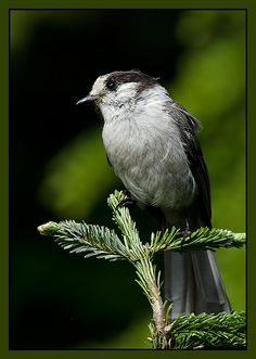 Whiskey Jack (common name for Grey Jay)