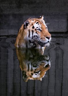 Photograph Tiger by Henrik Vind on 500px