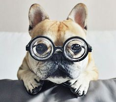 """Talk nerdy to me"", French Bulldog in Hipster Glasses."