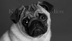 """How can you say """"NO"""" to this face? #pug"""