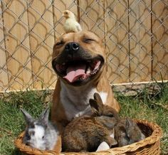 Pitbull and friends, gentle and sweet