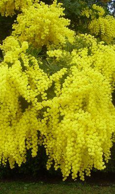 Beautiful yellow flowers , mimosa tree. Cássia genistiana.