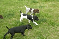 German shorthair pointers, all different color