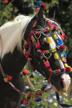 Marwari exotic Indian Horse that dances to drums. Movie in 2013.