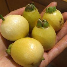 Rose Apple Seedling (Syzygium jambos)