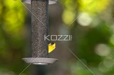 american goldfinch - A yellow and black bird eatings out of a feeder in Halliburton, Ontario.