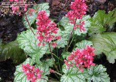 PlantFiles Pictures: Coral Bells, Alumroot, Coralbells, Alum Root ...