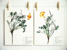Stampa Botanica papavero impostata erbario di DayThreeCreations