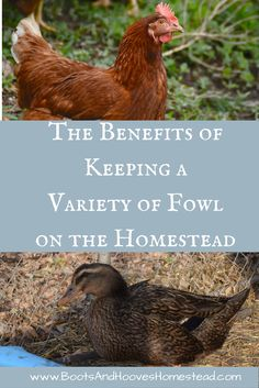 The Benefits of Keeping a Variety of Fowl on the Homestead. Chicken keeping. Duck keeping. Ducks on the homestead. Chickens on the homestead. Homesteading