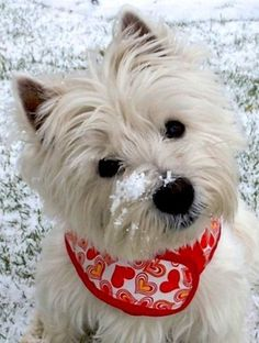 Our puppies are raised in big pens below an exceptional system which makes our puppies simple to house train if you obey our instructions Westies, Westie Puppies, Cute Puppies, Cute Dogs, Dogs And Puppies, Doggies, Bichons, West Highland Terrier, Little Dogs