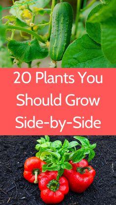 Growing Vegetables In Pots, Regrow Vegetables, Planting Vegetables, Organic Vegetables, Growing Herbs, Veg Garden, Vegetable Garden Design, Veggie Gardens, Garden Table