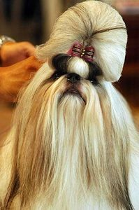shih tzu hairstyles