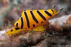 A tiger ovulid (Cuspivolva tigris)  -  S.Smith