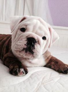 English Bull Dog—Mike's dream dog!