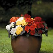I always plant tuberous begonias in my pots on my back porch. They are hard to find but so worth it. They are gorgeous!