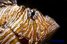 Invasive lionfish in Florida Keys - LIONFISH INVASION photographs and video by author Most of you have probably heard about the invasive red lionfish Pterois volitans that has been threatenin