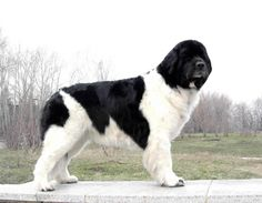 Landseer Newfoundland- we are thinking of adding one of these gentle giants to our family.