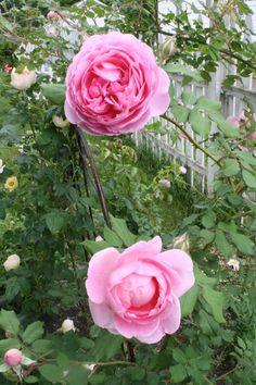 Huntington Roses