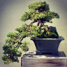I want a Bonsai Tree.