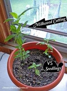 The dramatic difference when you grow from cuttings VS starting tropical milkweed seeds. Learn how to take your own cuttings and never run out of milkweed for your monarch caterpillars again! garden Grow From Cuttings - Tropical Milkweed Propagation Milkweed Plant, Plant Cuttings, Outdoor Plants, Outdoor Gardens, Potted Plants, Butterfly Garden Plants, Sun Garden, Monarch Caterpillar, Hummingbird Garden