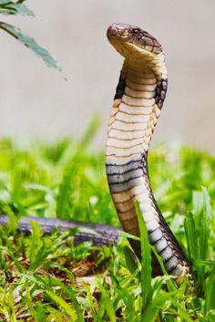 King Cobra Beautiful Creatures, Animals Beautiful, Snake Images, Cobra Snake, Year Of The Snake, Snake Art, King Cobra, Reptiles And Amphibians, My Spirit Animal
