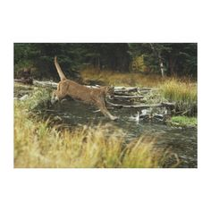 Mountain lion, Sawtooth Valley, Idaho Gallery Wrapped Canvas by National Geographic