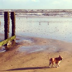 #maus the chihuahua going for a stroll...it's a beach way of life!