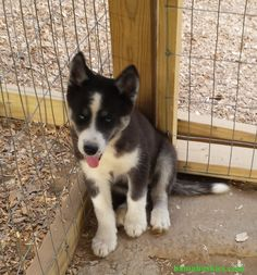 Meet Husky Puppy Adlynn « Bama Huskies Bama Huskies A black and white husky puppy from Bama Huskies. We have customers in Tennessee and Georgia as well as Mississippi. Be sure to check our webpage for information on Siberian husky puppies for sale.