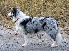 border collie dog photo | Blue Merle Border Collie - Dogs Wallpaper (12892924) - Fanpop fanclubs