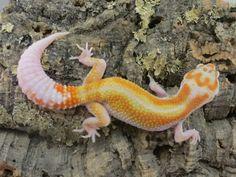 Carpe Gecko--Toledo Ohio
