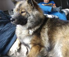 What do you mean I' too big to be a lap dog...? #eurasiers #eurasier #eurasiersofinstagram #dogsofinstagram #dogs #pets #petsofinstagram #cutedogs #petoftheday #instadog #dogstagram  by eurasier_juno  http://bit.ly/teacupdogshq