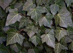 Plantas de interior - Hedera helix