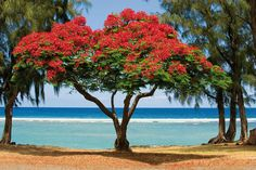 Tropical Flame Tree on the beach! Guadeloupe