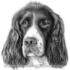 Image discovered by sunshine___. Find images and videos about dog, springer spaniel and english springer on We Heart It - the app to get lost in what you love. Animal Sketches, Animal Drawings, Pencil Drawings, Dog Drawings, Yorky, English Springer Spaniel, Dog Paintings, Pencil Portrait, Dog Portraits