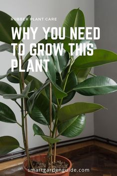 How To Care For A Rubber Plant (Ficus Elastica) - Smart Garden Guide