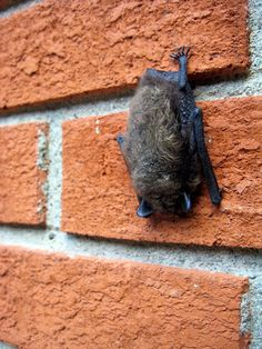 Navigate to the original site around Home Upgrades Bats In Attic, Getting Rid Of Bats, Bat House Plans, Attic Bedrooms, Home Upgrades, Garden Pests, How To Get Rid