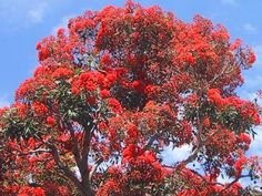 A Red or Scarlet Flowering Gum Tree.
