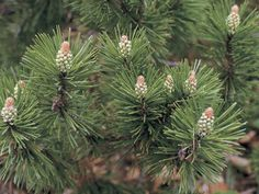 Photographic Print: Close-Up of a Mugo Pine Tree (Pinus Mugo) by D. Evergreen Flowering Shrubs, Evergreen Bush, Mugo Pine, Pine Bush, Marijuana Plants, Garden Trees, Pine Tree, Front Yard Landscaping