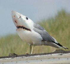 Shargull:  The dominant characteristic of the rare hybrid shark is ability to scavenge fish and chips