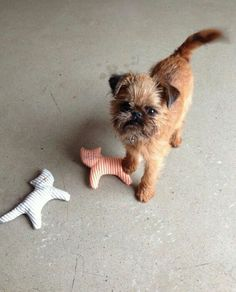 Cute Brussels Griffon                                                                                                                                                                                 More