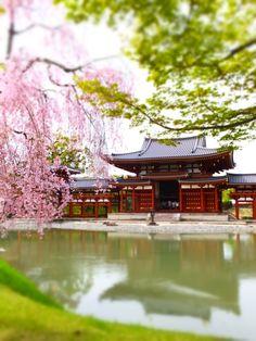 京都観光!世界遺産 国宝 京都宇治 平等院鳳凰堂と桜は圧巻!人気観光スポットはココ!