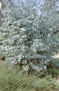 Juvenile and early adult foliage on a coppiced specimen of spinning gum (Eucalyptus perriniana) Silver Plant, Cut Flower Garden, Farm Gardens, Cut Flowers, Horticulture, Pacific Northwest, North West, Flora, Survival