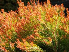 immergrne strucher Introduction The Colorful Evergreen Shrub you have been Waiting for! Fiery Color on Soft Foliage Enjoy Exciting Year-Round Beauty! Disease and Pest Resistant Low Evergreen Landscape, Evergreen Shrubs, Thuja Occidentalis, Easy Plants To Grow, Low Maintenance Plants, Colorful Plants, Hardy Plants, Types Of Soil, Plants