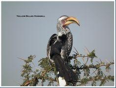 Hornbills, Africa's horned birds. Fascinating Characters..