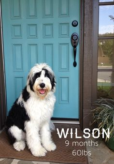 i really think i need a SHEEPADOODLE!!  Sheep dogs mixed with poodles.  Gus Gus would have a dog brother.