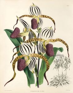 Warner Orchid Album Prints 1882
