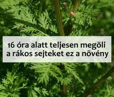Ráksejteket 16 óra alatt kiölő növény! Herbal Remedies, Natural Remedies, Yeast Infection During Pregnancy, Low Fat Protein, Health Questions, Feel Good Food, Health Vitamins, Health Advice, Good To Know