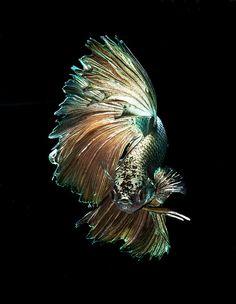 Dragon Betta, Siamese Fighting Fish On Black Background Royalty Free… Pretty Fish, Cool Fish, Beautiful Fish, Colorful Fish, Tropical Fish, Beautiful Creatures, Animals Beautiful, Betta Fish Care, Carpe Koi
