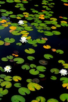 a private pool for lilies of the lake